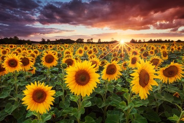 Michael Breitung Photography ~ Sunflowers ~ Germany